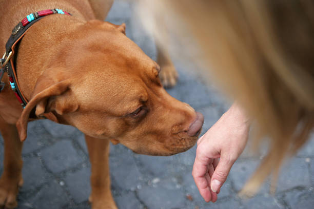 Who Are You Stranger Image shows the proper way to greet a dog.Offer the back of your wrist to the dog to smell. stranger stock pictures, royalty-free photos & images