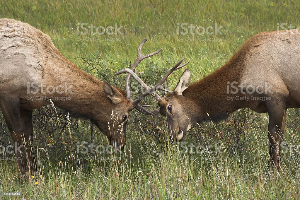 Who from two deers is stronger? royalty-free stock photo
