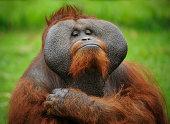 close-up of a proud orangutan