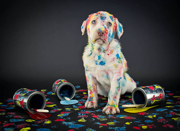 Who Me? A silly Lab puppy looking like he just got caught getting into paint cans and making a colorful mess. mischief stock pictures, royalty-free photos & images