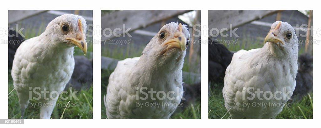 Who you callin' chicken? royalty-free stock photo