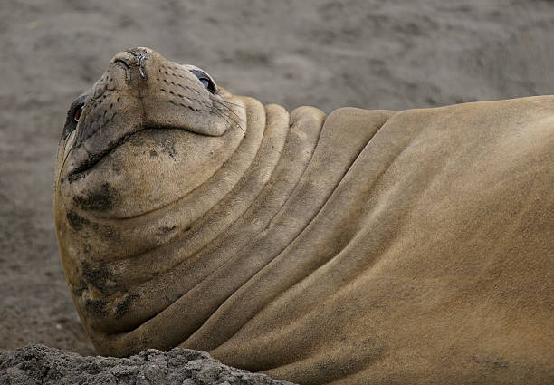 Who you looking at? An elephant seal looks at the camera south georgia island stock pictures, royalty-free photos & images