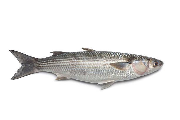 Royalty free mullet fish pictures images and stock photos for Pictures of mullet fish