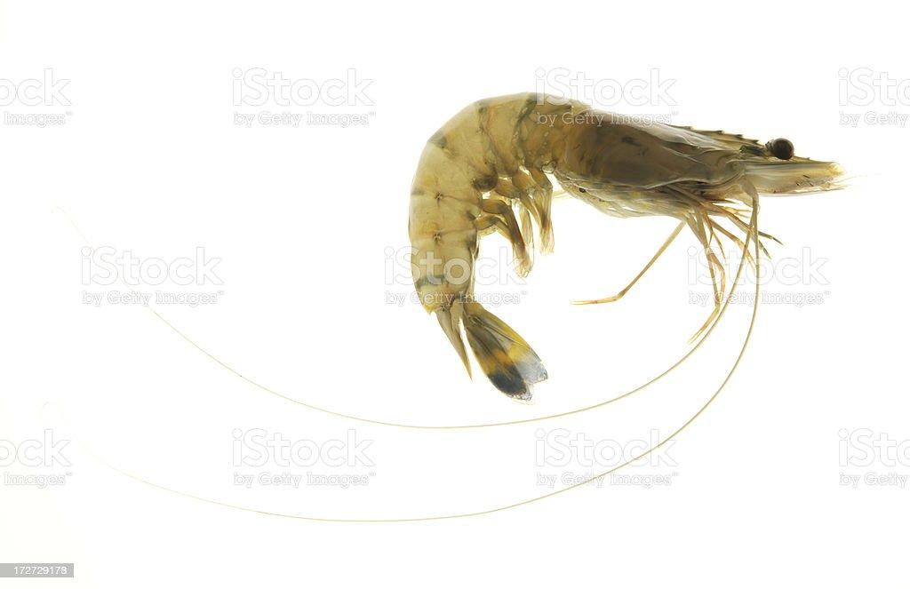 Whole fresh raw prawn royalty-free stock photo