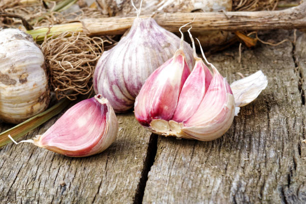 Whole garlic with broken bulb and pink cloves on rustic wooden board. stock photo