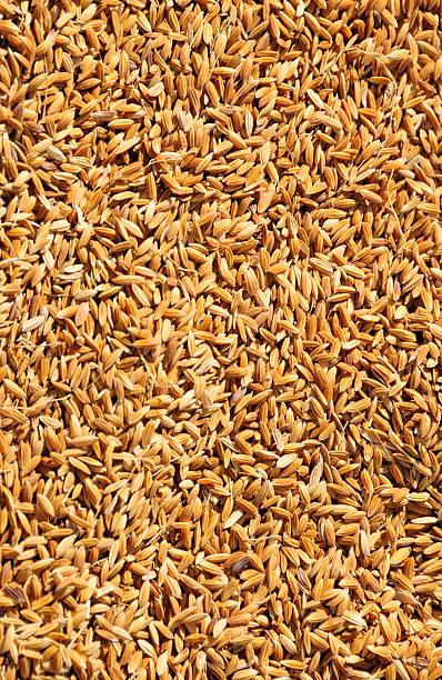 Whole grain rice stock photo