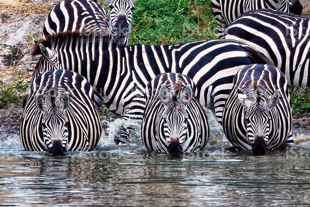 Whole Lotta Zebra Stripes stock photo