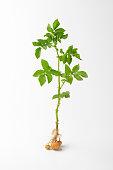 whole potato plant