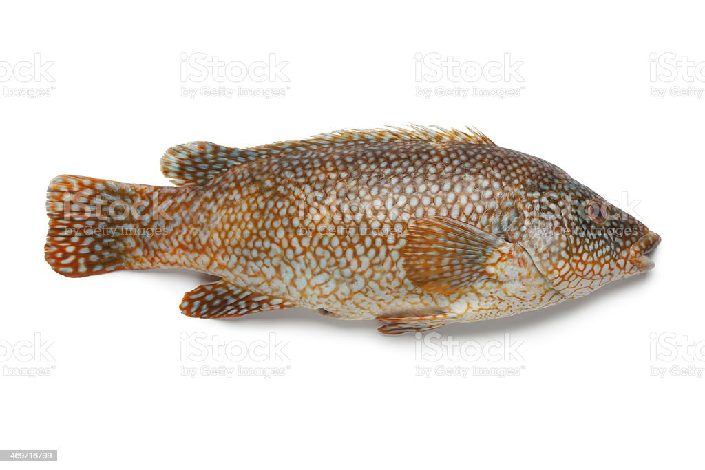 Whole red grouper fish stock photo