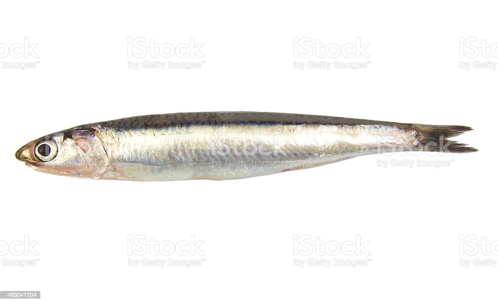 Whole single fresh raw european anchovy isolated on a white stock photo