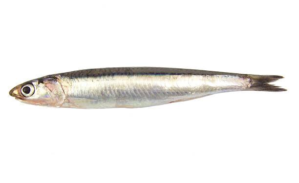 conjunto de prima única fresca anchoa europeo aislado sobre un blanco - anchoa fotografías e imágenes de stock