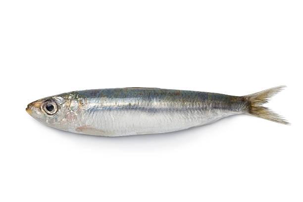 Whole single fresh sardine stock photo
