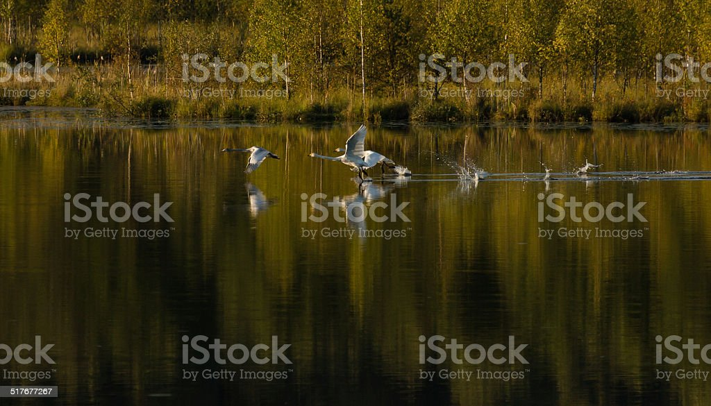Whooper swan family flying in autumn sunset stock photo