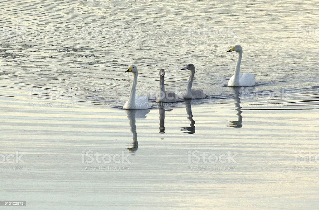 Whooper swan family in water stock photo
