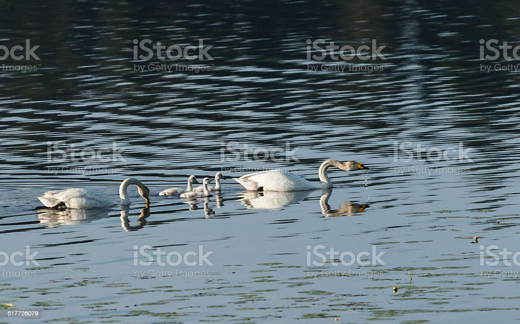 Whooper swan family swimming stock photo