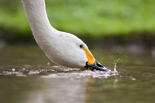 Whooper Swan having a drink from a puddle stock photo