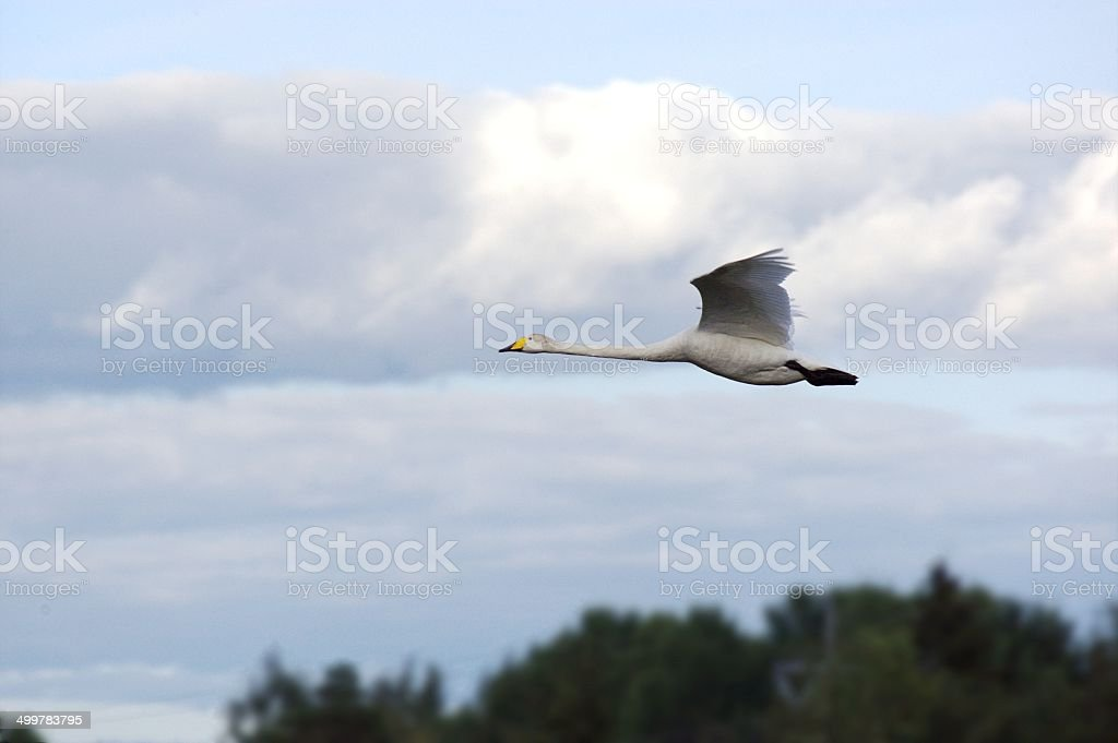 Whooper swan in the air stock photo