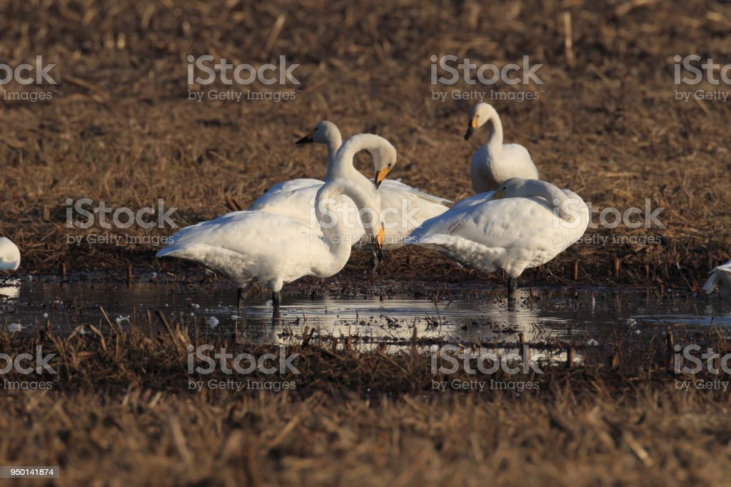 whooper swan mecklenburg germany stock photo - download image now