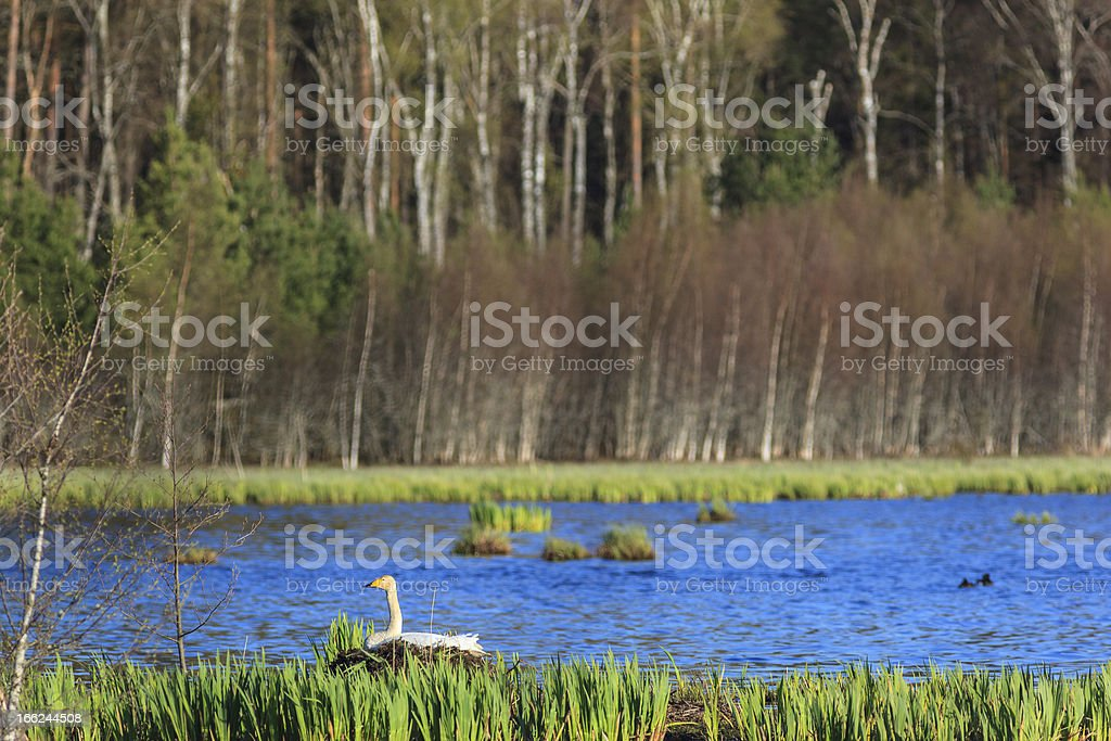 Whooper swan nesting royalty-free stock photo