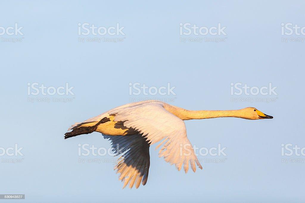 Whooper Swan stock photo