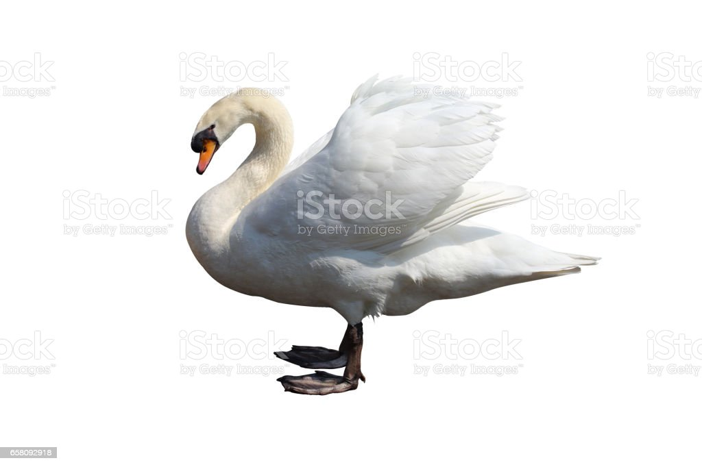 whooper swan royalty-free stock photo