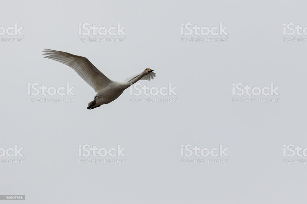 Whooper swan up in the sky stock photo