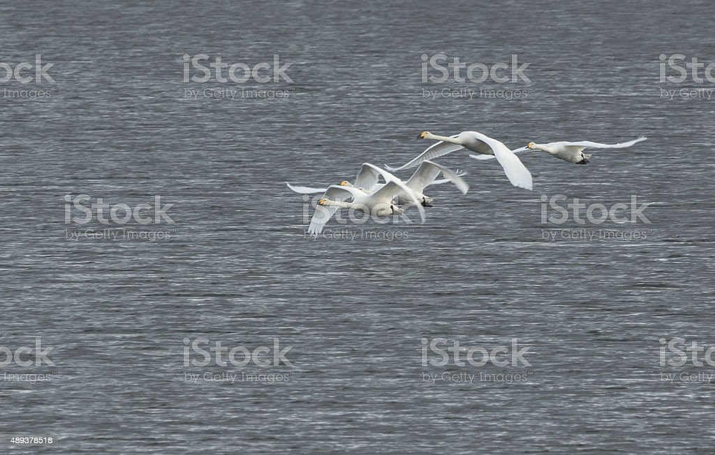 Whooper swans flying stock photo