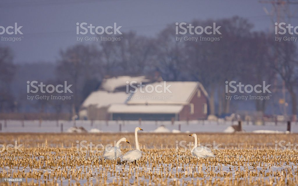 Whooper Swans on maize field royalty-free stock photo