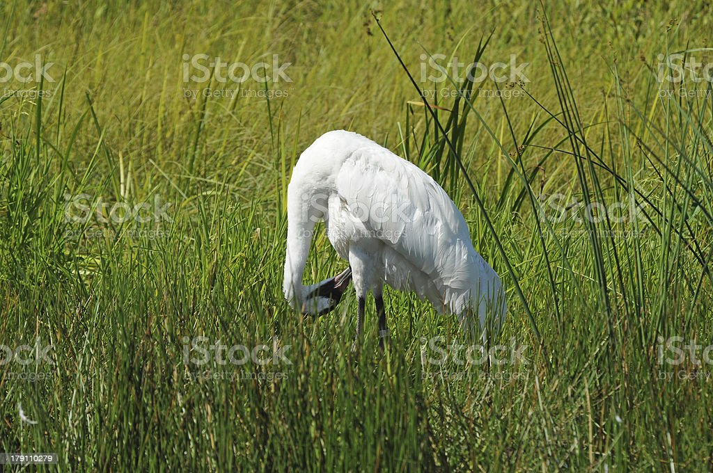 Whooping Crane Looking Under His Legs royalty-free stock photo
