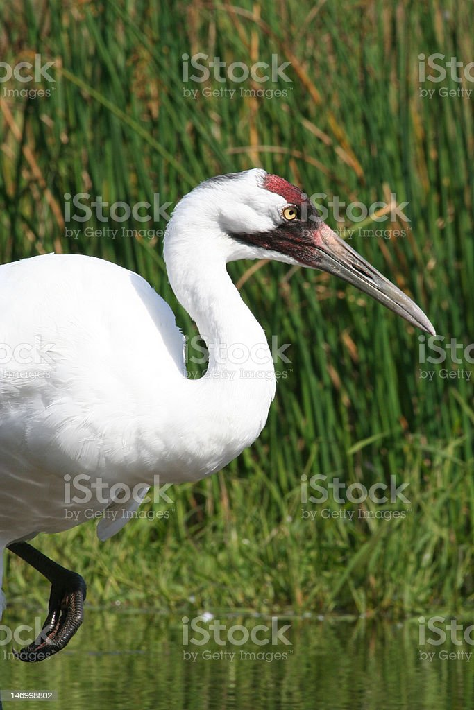 Whooping Crane royalty-free stock photo