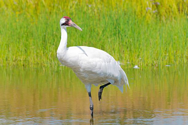 Whooping Crane Wading in Marsh stock photo