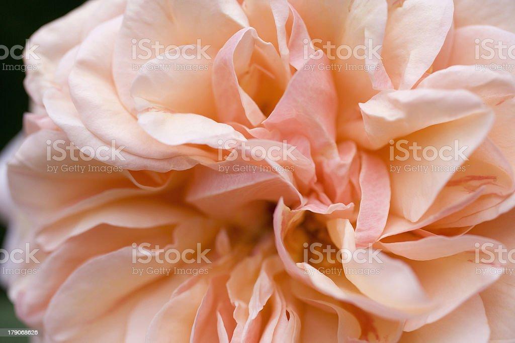 Whorls of Pink royalty-free stock photo