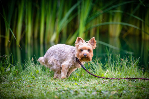 Why are you shooting this? A yorkie relieving himself on a park poop stock pictures, royalty-free photos & images