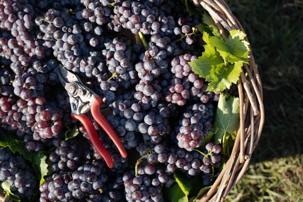 wicker basket full of red grapes in the vineyard stock photo