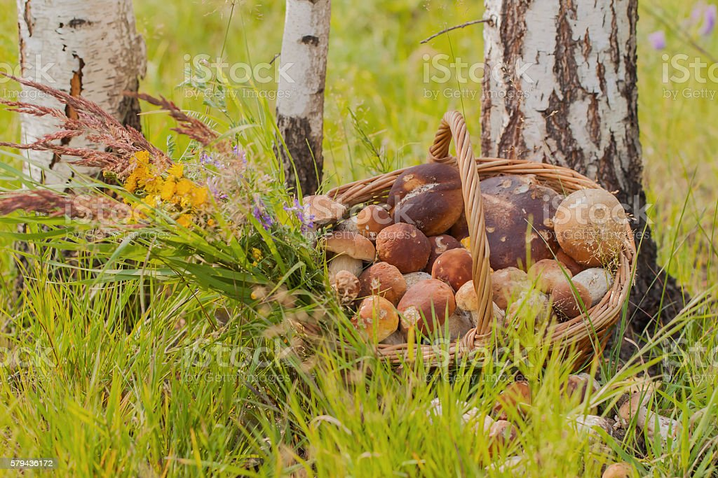 Wicker basket with mushrooms near birches stock photo
