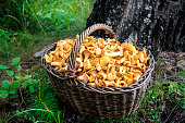Wicker basket with wild mushrooms chanterelles on birch trunk background