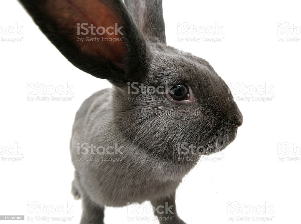 Wide Angle Gray Bunny Rabbit with Copy Space stock photo