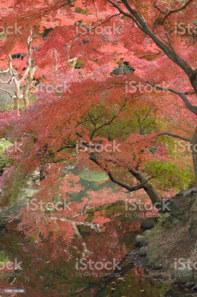 Wide angle landscape of colorful Japanese Autumn Maple tree in Tokyo