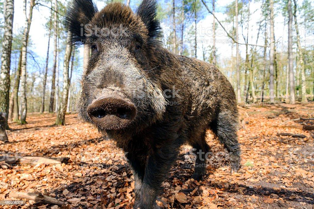 Wide angle male wild boar stock photo