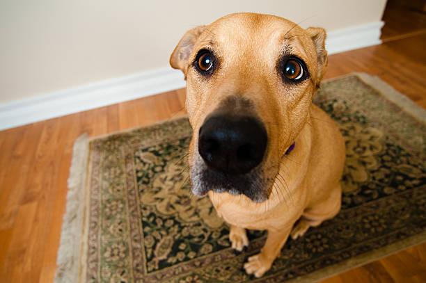 A wide angle shot of a big dog inside of home stock photo