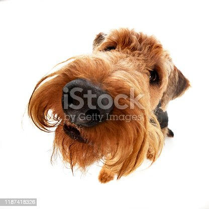 istock Wide angle shot of an adorable Airedale terrier 1187418326