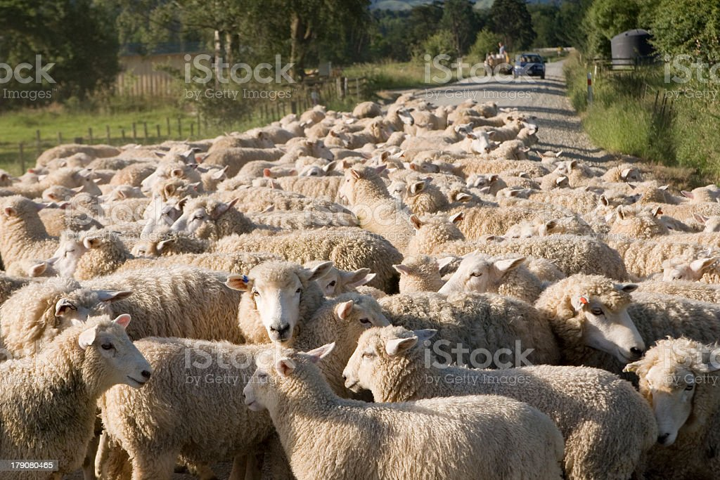 Wide angle shot of flock of sheep on gravel road stock photo