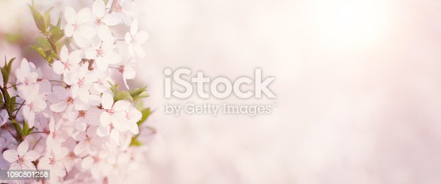 istock Wide Angle Spring Nature background with cherry flowers 1090801258