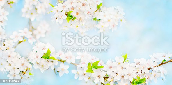 istock Wide Angle Spring Nature background with cherry flowers 1090815466