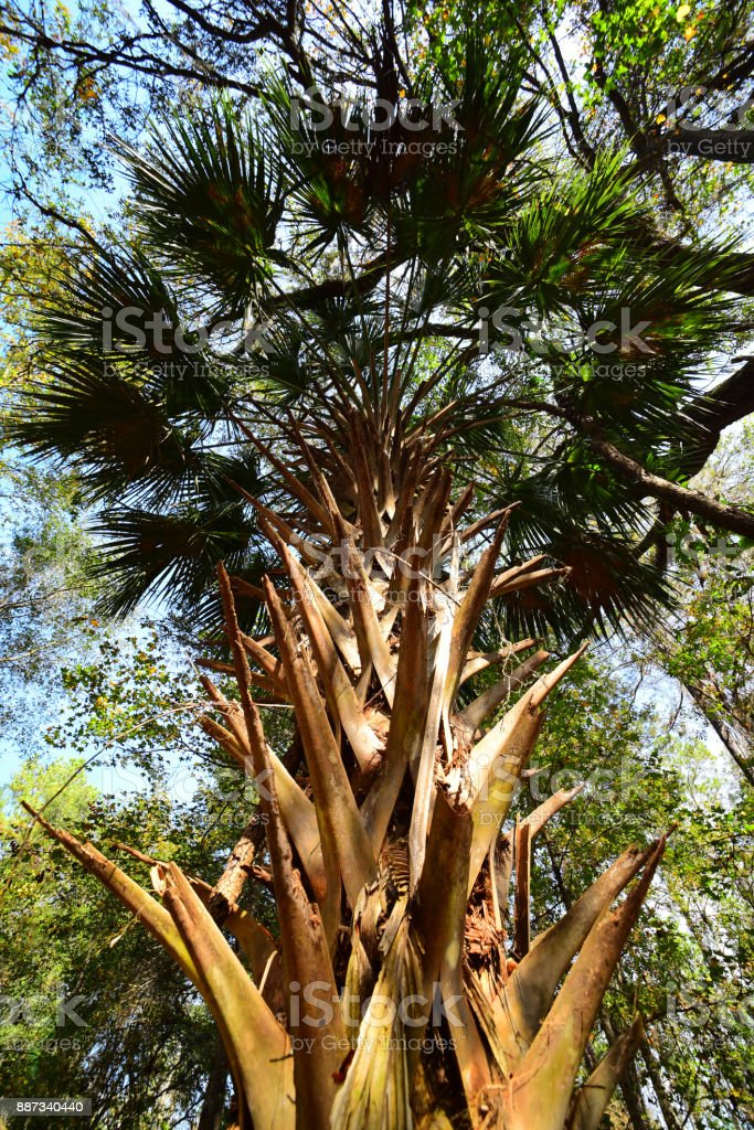 Wide angle vertical view of Sabal palm fronds with boots on trunk stock photo
