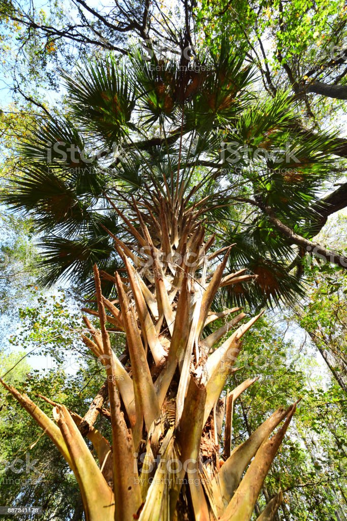 Wide angle vertical view of Sabal palm fronds with old remnants on trunk stock photo