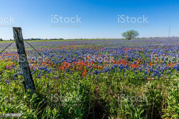 Photo of A Wide Angle View of a Beautiful Field Blanketed with the Famous Texas Bluebonnet (Lupinus texensis) Wildflowers.