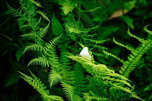 Wide angle view of a white butterfly on a fern leaf in Bellevue, WA, United States