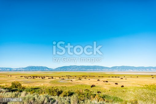 Wide angle view of bison herd in valley high angle in Antelope Island State Park in Utah in summer grazing on grass with sky
