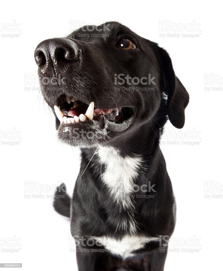 Weitwinkel-Ansicht von black dog Gesicht – Foto